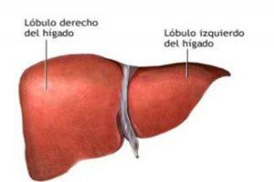 Hígado - órgano